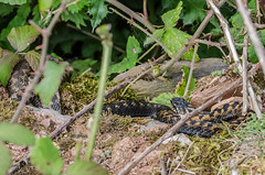 Two Adders - Viper berus (Matchman Devon) Tags: viper berus adder south hams devon ringmore