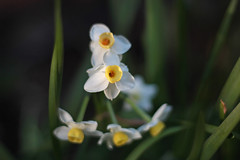 Narcissus (skipmoore) Tags: flower home garden narcissus