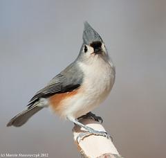 Raising head (v4vodka) Tags: newyork bird nature animal wildlife birding longisland titmouse birdwatching songbird tuftedtitmouse baeolophusbicolor sikoradwubarwna elizabethmortonwidliferefugemortonsanctuary