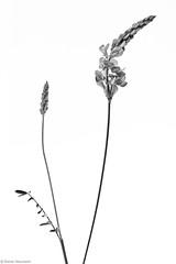 Wiesenblume 8A b&w (rainerneumann831) Tags: macro natur pflanze blume blte lupine wiesenblume focusstacking