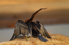 Darter (Zahoor-Salmi) Tags: camera pakistan 2 macro nature birds animals canon lens photo tv google flickr natural action mark wildlife watch bbc 7d punjab discovery wwf salmi walpapers chanals beutty bhalwal zahoorsalmi