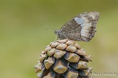 La pia (Dani (Atrus)) Tags: bandaacodada hipparchiahermione butterflies jdanielfernndez elrincndelosprotegidos espaa spain fauna naturaleza
