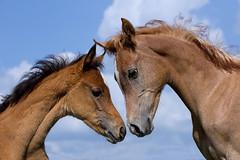Exchange of views (FocusPocus Photography) Tags: friends sky horse animal buddies himmel arab conversation arabian pferd freunde tier gesprch foal kumpel fohlen araber marbach araberfohlen araberpferd hauptundlandgestt