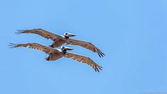 Baja California Sur, Mar de Cortez-18.jpg (gaillard.galopere) Tags: beautiful mexico fly pelican bajacalifornia baja bajacaliforniasur gaillardgalopere mexcapade