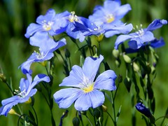 Wild Blue Flax - Linum lewisii (4) (Kelly.Belle1) Tags: wildblueflax linumlewisii blue wildflower doublefantasy