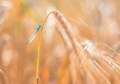 Damsel in no Stress (Geolilli) Tags: sunset summer colors contrast canon germany bayern bavaria 50mm fly interesting dragonfly wheat insects fields 18 damselfly 70d