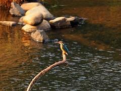 Female kingfisher (, ) (Greg Peterson in Japan) Tags: birds japan wildlife rivers shiga jpn yasu kingfishers shigaprefecture rittocity oyamakawa