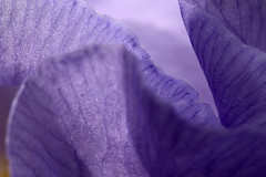 Translucent (gripspix (OFF)) Tags: 20160605 nature natur plant pflanze blte blossom petal bltenblatt texture textur iris