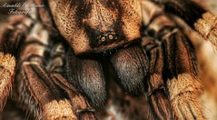 Photo by @emyangel_vw  #photo #photographerlife #photogrid #photos #aracnidos #arcnido #spider #spiders #eighteyes #araas #araa #tarantula #tarntula #cursomacro #macro #macros #iger #igers #igerbuenosaires #natgeo #natgeoadventure #natgeowild #canon # (rinaldi.emiliano) Tags: macro canon spider photo photos spiders tarantula araa macros araas natgeo iger eighteyes tarntula arcnido canonmacro aracnidos photogrid canonistas canonista natgeoadventure photographerlife macrox natgeowild igers macromood cursomacro igerbuenosaires macrobichos macroperfection