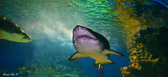It's a real shark . (Mustafa Ala'a) Tags: shark water fish nikon selachimorpha marine
