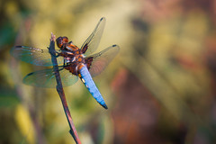 Majestic Dragon-Fly (Bowske) Tags: summer sun lake macro green nature water colors up leaves animal animals fauna forest canon germany insect landscape photography fly leaf flora dragon close outdoor sony awesome side country insects swamp huge alpha 70200 ef 6000 landscapephotography a6000