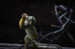 My food! (elizunseelie) Tags: wild nature animal animals photoshop zoo monkey scotland hands squirrel edinburgh day play feeding pentax eating wildlife small indoors tiny expressive express dslr tamron playful primate k5 lightroom