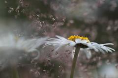 Au rve soleil (CcileAF) Tags: wild summer flower nature field canon bokeh daisy dreamy tamron