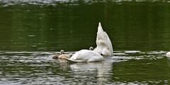 Schwan (Michael Dring) Tags: swan cygnet schwan gelsenkirchen buer bergersee michaeldring schlosberge d7200 sp150600