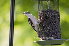 IMG_4623eFB (Kiwibrit - *Michelle*) Tags: tree grass birds woodpecker squirrel maine feeder chipmunk monmouth 2016 061916