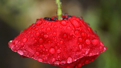 Attitude is a little thing that makes a big difference. Winston Churchill (genevieve van doren) Tags: red rain garden rouge jardin pluie poppy coquelicot