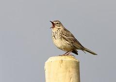 I'm not singing.... (themadbirdlady) Tags: bird post behaviour meadowpipit pellet passeriformes anthuspratensis motacillidae sheriffmuirnorthnn8303
