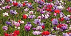Happy!!  Wij zijn op vakantie, tot over 2 weken. We're on holiday, see you in 2 weeks time. (peeteninge) Tags: flowers nature flora colours outdoor natuur flowerfields bloemen