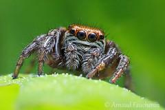 Saltique (Arnaud Faucheron) Tags: macro canon spider ngc araigne canonmpe65mm arachnide mpe sauteuse saltique canon7dmarkii