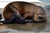 Sea Lion Pup Born at the Smithsonian's National Zoo (Smithsonian's National Zoo) Tags: jetty birth pup sealion calli 2016 americantrail jacquelineconrad