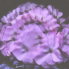 (emmakatka) Tags: flowers summer plant flower floral square pretty purple crystal prism surreal kaleidoscope squareformat dreamy juno kaleidoscopic iphoneography emmakatka instagramapp uploaded:by=instagram