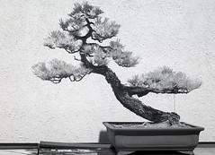 DSC_3911s (An Xiao) Tags: arboretum bonsai penjing
