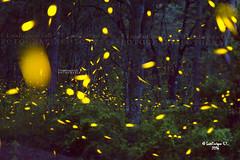 """Cuando las Estrellas Bajan (Santuario de las Lucirnagas ) """"fireflies""""  Nanacamilpa  Tlaxcala  Mxico (Luis Enrique Gmez Snchez) Tags: mxico fireflies tlaxcala lucirnagas luciernagas nanacamilpa luisenriquegmezsnchez"""