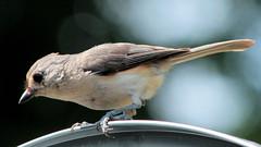 IMG_9075e (blazer8696) Tags: 2016 brookfield ct connecticut ecw obtusehill t2016 usa unitedstates baeolophus baeolophusbicolor bicolor img9075 paridae passeriformes titmouse tufted tuftedtitmouse
