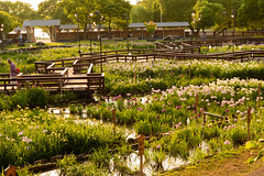 36Yamada Pond Park (anglo10) Tags: sunset flower japan
