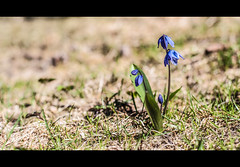 Signs of spring (Sina Farhat) Tags: blue light flower grass canon garden gteborg spring raw sweden bokeh blomma sverige trdgrd vr bl 031 ljus gothenborg grs 50d skrpedjup canon50mm14usm lightroom4