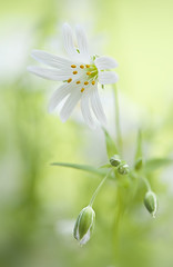 Sweet Spring (Jacky Parker Floral Art) Tags: portrait flower macro art nature floral vertical closeup garden one spring flora creative single bloom flowering format perennial stellariaholostea greaterstitchwort oreintation
