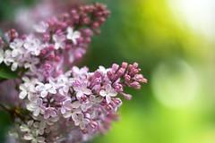 Flieder (~janne) Tags: park wedding plant berlin nature 50mm licht flora dof bokeh f14 misc natur pflanzen olympus volkspark strauch wetzlar flieder syringa rehberge leitz kringel manuell summiluxr e520