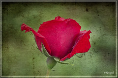 One red rose (Rinogmb) Tags: red texture rose rosa rosso soe ruby3 mygearandme ringexcellence blinkagain