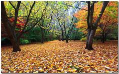 0S1A9478 (Steve Daggar) Tags: autumn bluemountains mountwilson autumncolour