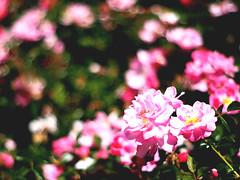 Hunter Hill Flowers (BloodyTiger) Tags: california flowers nature 50mm minolta hill olympus area 17 rest hunter vallejo ep2 rokkorx
