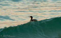 Ridin' the waves (Rick Smotherman) Tags: ocean beach gulfofmexico nature water birds canon outdoors morninglight spring florida 7d destin runningwater shorebird canon300mmf4l canon7d