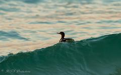 Ridin' the waves (Rick Smotherman) Tags: ocean beach gulfofmexico nature water birds canon outdoors morninglight spring florida 7d destin runningwater shorebird canon300mmf4l canon7d
