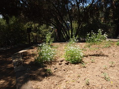 Cilantro in bloom (Anika Malone) Tags: losangeles gardening mtwashington volunteering southwestmuseum