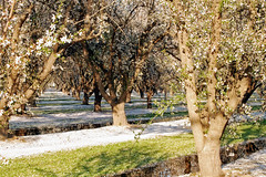 Orchard_4427-1 (jbillings13) Tags: california landscapes farming almond orchard orchards kerncounty almondorchard