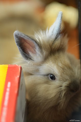 peek a boo (Jason Scheier) Tags: pets cute bunny animal hair fur furry soft fluffy reflect creatures creature lionshead lionhead rabiit