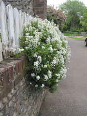 Iberis (Candytuft) (wallygrom) Tags: england westsussex highstreet walkingtowork candytuft angmering iberis