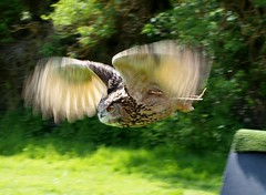 Speedy wings (The original SimonB) Tags: birds suffolk may olympus owl felixstowe eurasianeagleowl e420 explored 2013