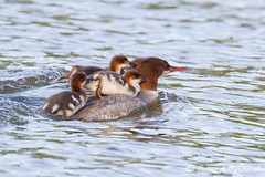 Common Merganser - IMG_5907 (arvind agrawal) Tags: mergusmerganser commonmerganser