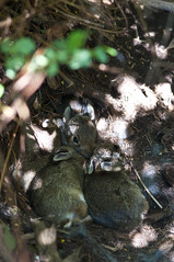 Baby Bunnies (cjh44) Tags: baby bunny bunnies collinsbay neighoursgarden