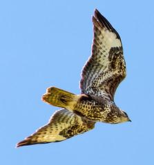 Common Buzzard (Mark Hobbs@Chepstow) Tags: uk copyright wales lens nikon flickr dslr fx chepstow sensor dx monmouthshire nikond600 markhobbs