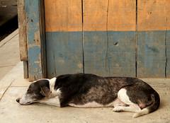 Mazán Dog (cowyeow) Tags: street travel sleeping dog cute peru latinamerica southamerica wall town funny candid painted funnydog iquitos peruvian mazan mazán