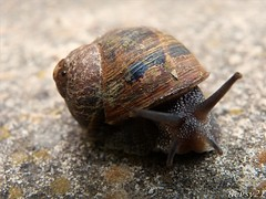 Garden Snail (kev thomas21) Tags: uk england liverpool wildlife snail merseyside