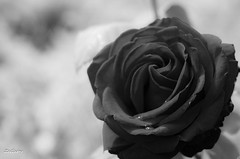My heart is crying... {Explore} (ZeGaby) Tags: flowers bw rose fleurs blackwhite pentax bokeh explore noirblanc k30 pentax50mm17