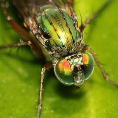 Poecilobothrus nobilitatus (Elisabeth, Kelev, Tama, Mazal) Tags: macro nature closeup garden insect longleggedfly poecilobothrusnobilitatus slankpootvlieg