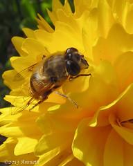 Sunglasses (♥ Annieta  home and catching up) Tags: flower holland nature netherlands yellow jaune canon bug garden insect nederland jardin natuur powershot juli tuin geel insekt allrightsreserved hoverfly bloem krimpenerwaard zweefvlieg coth 2013 annieta specanimal buzznbugz macromarvels usingthisphotowithoutpermissionisillegal mygearandme sx30is unlimitedinsectslevel1